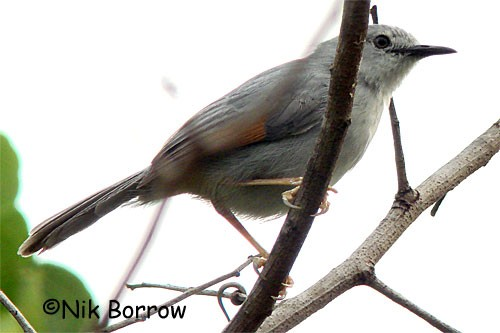 Red-winged grey Warbler