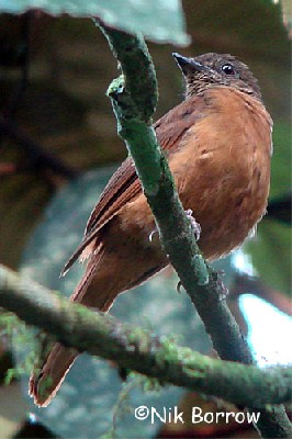 Rufous Flycatcher Thrush