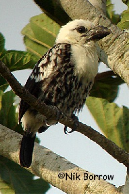 White-headed Barbet