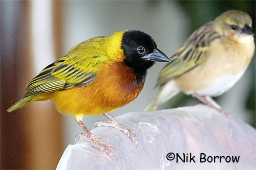aka Yellow-backed Weaver