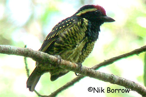 Yellow-spotted Barbet