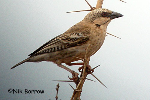 Donaldson Smith's Sparrow Weaver