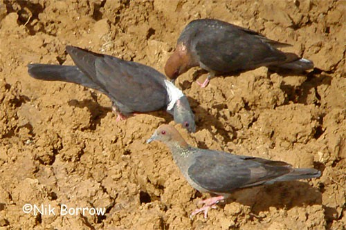 Eastern Bronze-naped Pigeon