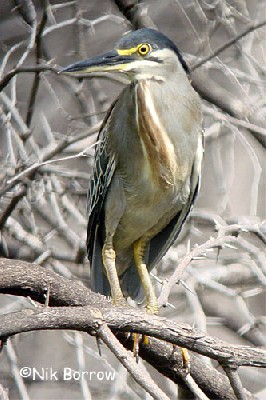 aka Striated Heron
