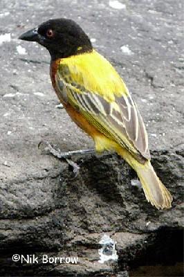 Jackson's Golden-backed Weaver
