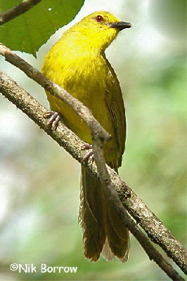 Joyful Greenbul