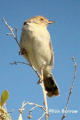 the race distinctus sometimes split as Lynes's Cisticola