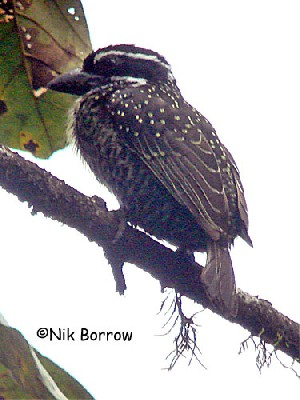 the race ansorgii sometimes split as part of a separate species Streaky-throated Barbet T. flavipunctata