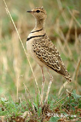 aka Two-banded Courser