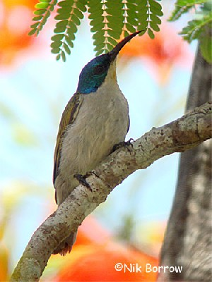 Green-headed Sunbird, nominate race