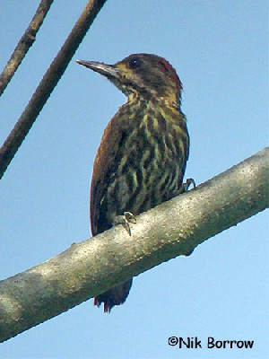 Melancholy Woodpecker