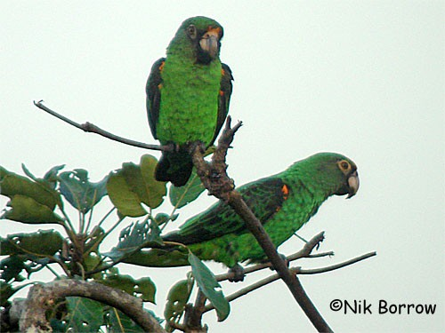 Red-fronted Parrot, race fantiensis