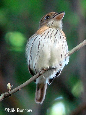 Rufous-sided Broadbill, nominate race