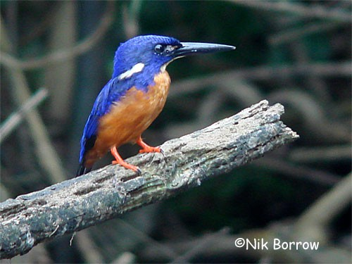 Shining-blue Kingfisher, nominate race