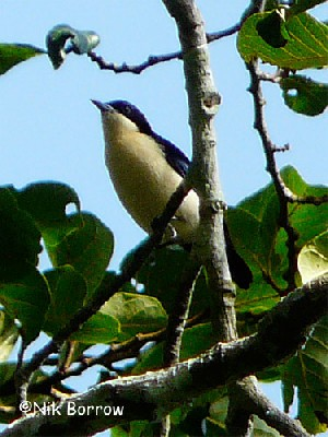 Violet-backed Hyliota, race nehrkorni