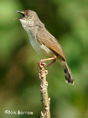 Whistling Cisticola, nominate race