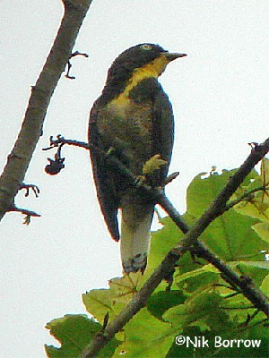 Yellow-throated Cuckoo