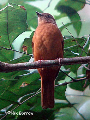Rufous Flycatcher-thrush