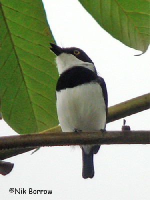 ssp occulta sometimes split as West African Batis