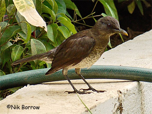 Gulf of Guinea Thrush nominate race