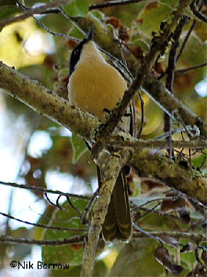 Black-fronted Bush-shrike