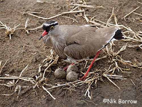 Crowned Lapwing on nest with three eggs