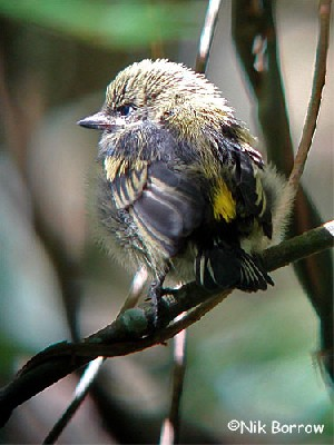 recently fledged Moustached Green Tinkerbird