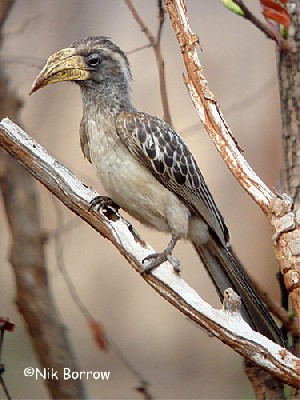 Pale-billed Hornbill
