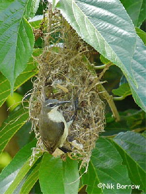 Pemba Sunbird in the process of nest-building