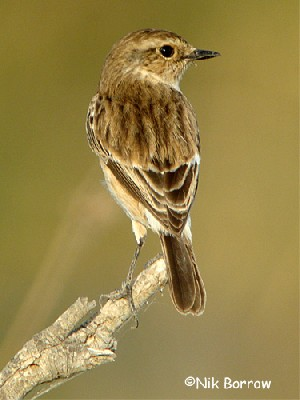 African Stonechat - the race moptanus