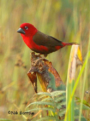 Crimson Seedcracker