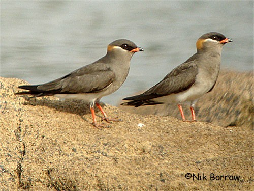 Rock Pratincole the rufous-collared race liberiae