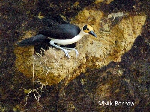 White-necked Picathartes - a poor name as the neck is not white!