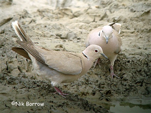 Aka Rose-grey Dove