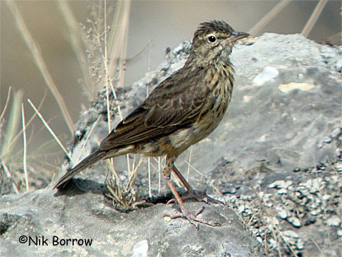 the race bannermani sometimes treated as a separate species, Bannerman's Pipit