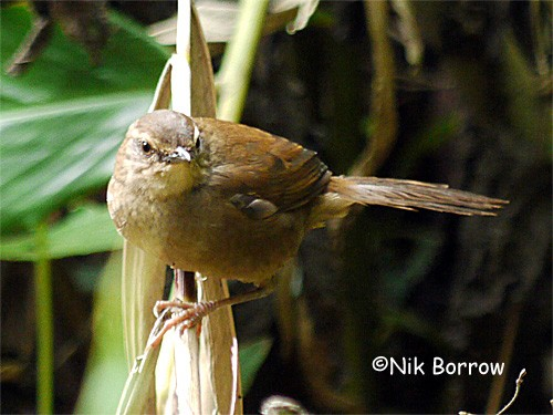 This form is sometimes treated as a separate species from East African populations and is then renamed Cameroon Forest Warbler