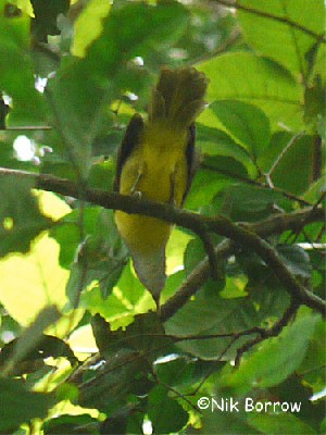 Grey-headed Greenbul