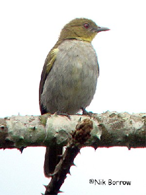 aka Yellow-necked Greenbul