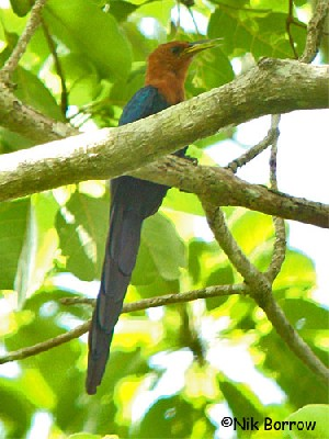 Forest Wood-hoopoe