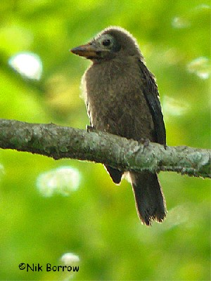 Naked-faced Barbet