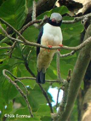 Red-billed Helmet-shrike