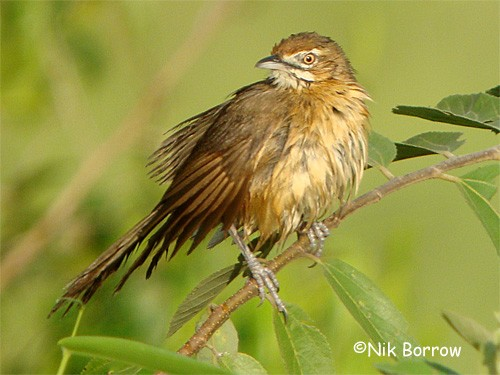 aka African Moustached Warbler