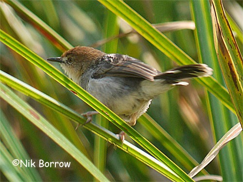 Carruthers's Cisticola