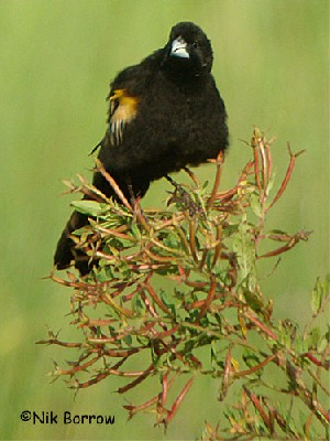 aka Hartlaub's Marsh Widowbird