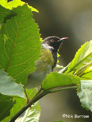aka Black-faced Apalis