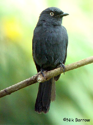 Yellow-eyed Black Flycatcher