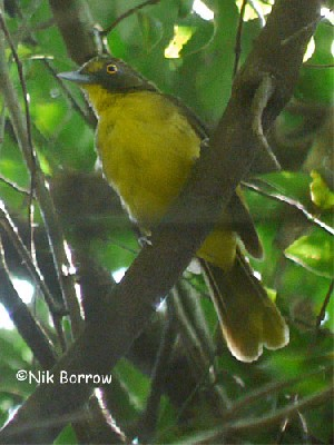 Yellow-eyed Bristlebill