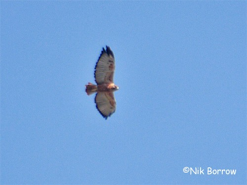 Archer's Buzzard