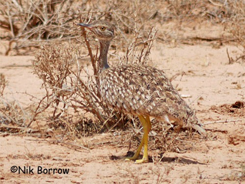 Little Brown Bustard