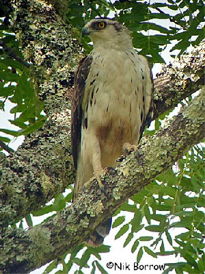 Ayres's Hawk Eagle